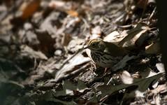 Ovenbird (Seiurus aurocapillus) (fmlehman) Tags: bird migration warbler massachussetts songbird ovenbird paruline