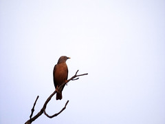 Lonely (eneron9) Tags: india bird nature animal photography alone wildlife starling lonely fujifilmfinepixs4800