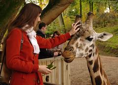 Pairi Daiza (Natali Antonovich) Tags: park autumn portrait nature animal zoo mood belgium giraffe pairidaiza natalyahrebionka pensiveautumn poetessnatalyahrebionka