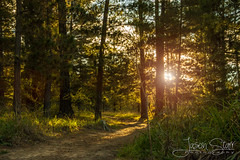 Pine Forest Sunset (jasoncstarr) Tags: trees sunset pine forest canon landscape woods path flare hdr enchanted armidale 18135 70d canoneos70d 18135mmstmlens