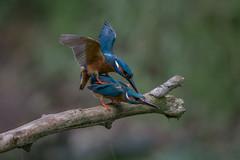 R14_2637 (ronald groenendijk) Tags: tree bird nature netherlands wildlife nederland vogels natuur kingfisher mating vogel paring 2014 alcedoatthis ijsvogel martinpcheur natuurbirds ronaldgroenendijk cronaldgroenendijk