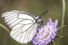 Aporia crataegi (Jaume Bobet) Tags: macro canon sigma lepidoptera mariposa bobet insecto pieridae aporia crataegi