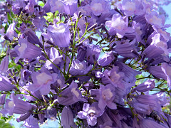 We're back! (Bennilover, off till Feb. 13) Tags: trees sun color beauty purple blossoms lavender jacarandatree