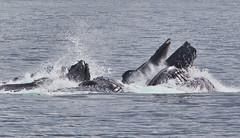 Bubble Net Feeding (J Gilbert) Tags: net alaska mammal marine feeding bubble whale feed humpback megapteranovaeangliae crabbay
