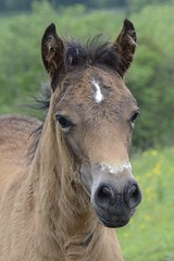 colt (GE fotography) Tags: star bay pony colt foal 2873