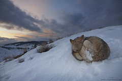 Sunset Slumber (www.jessfindlay.com) Tags: coyote winter sunset wild usa dog mountain snow cold eye animal animals fur outdoors wildlife wideangle canine wintercoat stare rest wyoming wilderness chill animalia peer carnivore animalsinthewild carnivora canislatrans prairiewolf jessfindlay wideanglewildlife wwwjessfindlaycom jessfindlayphotography