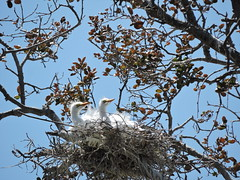 Great Egret Chicks American Canyon (jzgray) Tags: california bird nature birds wildlife birdnest egrets frontview greategrets napacounty ardeaalba greategretchicks birdchicks