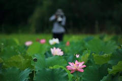 Capture  ~新店,(舊)台大安康農改場 LOTUS~ (PS兔~兔兔兔~) Tags: pink summer plants flower green nature water beautiful canon photo leaf natural lotus farm gorgeous taiwan vivid dew bloom taipei aquatic elegant 台灣 lian xindian 荷花 蓮花 荷 蓮 新店 露珠 荷葉 綻放 mirrorless 蓮葉 安康農場 台大農改場 新北市 newtaipeicity 蓮花園區 蓮蓬水生植物