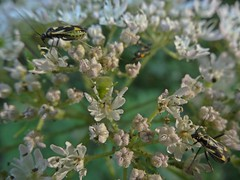 Beasties (Bricheno) Tags: macro bug insect scotland escocia szkocja renfrew schottland scozia cosse plantbug miridae  esccia  grypocorisstysi  bricheno scoia