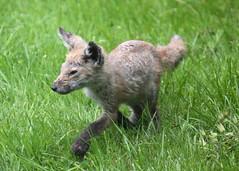 Fox cub (Treflyn) Tags: uk wild animal garden reading cub back wildlife united kingdom fox berkshire earley