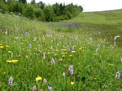geschützte Winterberger Bergwiesen