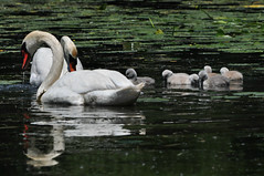 BABIES!  (Number 6) (River Wanderer) Tags: canoe canoeing cygnets muteswans livonia newburghlake 55300 d5000 cutemutes