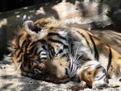 parc des felins mai 2011 079_DxO (phanefelin) Tags: sumatra de tigre parcdesfelinsmai2011