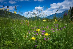 Alpenblumen (Jos Mecklenfeld) Tags: flowers mountains alps nature clouds germany walking landscape bayern deutschland bavaria hiking wandelen walk sony natur natuur wolken blumen hike bergen alpen landschaft wandern bloemen duitsland landschap oberstdorf allgäu nex 3n alpenblumen beieren bayerischealpen allgäueralpen alpedornach sonynex nex3n sonynex3n gsessel