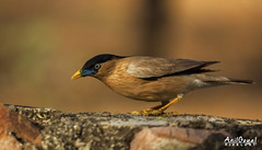 Brahminy Starling (AnilGoyal Pixelart) Tags: morning india tourism nature colors birds composition canon lens photography landscapes tour close bokeh vibrant background indian birding feathers picture pic tele birdsanctuary plumage indianbirds 55250 anilgoyalpixelart anilgoyal