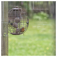 Robin - through the kitchen window (theimagebusiness) Tags: bird window beauty robin garden scotland feeding wildlife domestic suet smallbirds wildbird theimagebusiness theimagebusinesscouk
