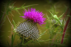 the jaggy one (lens67) Tags: plant flower heritage scotland thistle scottish jaggy rapscalion