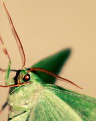 Large Emerald (Kez Price) Tags: uk macro green moth large emerald bbcwalesnature
