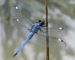 Spangled skimmers still flying