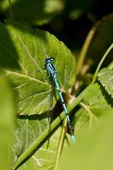 Blue Dragonfly (Red-Shadow) Tags: shadow red black forest insect deutschland day dragonfly sommer pflanzen blau insekt schatten schwarzwald blackforest roter 2014 redshadow grun blatter