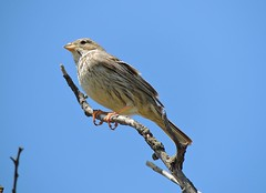 Corn Bunting, Bradwell-on-Sea, Essex (Linda 2409) Tags: bird countryside farmland grassland miliariacalandra