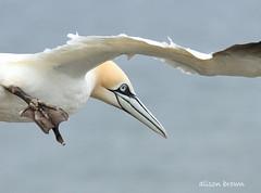 On Approach (alison brown 35) Tags: uk sea wild brown bird nature june canon season photography inflight wildlife yorkshire ngc cliffs east breeding 7d alison northern 35 nesting gannet rspb bempton