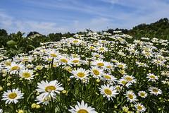 Daisies! at White Lotus Farm (Janet's View2012) Tags: flowers daisies michigan farm sciotownship whitelotusfarms
