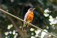 Bird Robin on Hydro Wire (AncasterZ) Tags: bird robin sony slt a57 sal75300