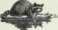 Anglų lietuvių žodynas. Žodis shorttail weasel reiškia trumparegystė weasel lietuviškai.