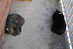 Frank and Tommy sleeping (Moldovia) Tags: 2 two cats pets animals frank pair tommy felines catalog bengal pedigree catpix bridgecamera catspotting catmoments fujifilmfinepixhs50exr