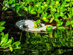 Sadness:  Death of Great White Egret in Sunset Cove, Key Largo (Louise Lindsay) Tags: sunset bird dead key cove pelican largo egret kayakflbayafternoonsunsetmangrovesbirds32142014deadb kayakflbayafternoonsunsetmangrovesbirds32142014deadbirddeadgreatwhiteegretpelicankeysunsetcovekeylargo