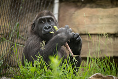 2014-05-24-14h07m29.BL7R6820 (A.J. Haverkamp) Tags: germany zoo gorilla stuttgart wilhelma dierentuin tano westelijkelaaglandgorilla canonef100400mmf4556lisusmlens httpwwwwilhelmade pobpragueczechrepublic dob08112011