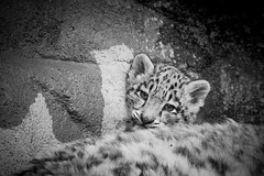 Baby White Snow Leopard The Two Baby Snow Leopard