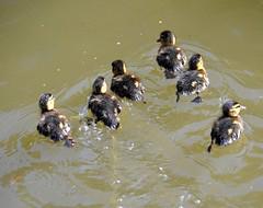 Ducklets (Aaaaawwww) (Roger Bunting) Tags: duckling mallard worksop chesterfieldcanal clumberpark godfreyspond