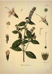 Anglų lietuvių žodynas. Žodis mentha piperita reiškia <li>mentha piperita</li> lietuviškai.