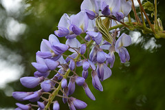Wisteria (Selqet) Tags: flowers nikon april fiori wisteria 2014 glicine d3200 selqet