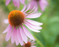 Summer Dance (pamelalong) Tags: pink explore coneflower botanicalgarden 50mm18 brushprairie nikond300