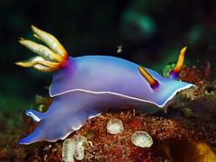 Hypsolodoris bullocki (divemecressi) Tags: leica macro bernd 45mm mollusca hoppe nudi elmarit opisthobranchia