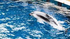 Vancouver Aquarium - Launch (Sean Maynard) Tags: canada water pool animal vancouver swimming aquarium dolphin britishcolumbia launch vancouveraquarium