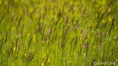 Grasses (Carol Curd) Tags: france meadow millau caussenoir