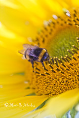 IMG_2055 (♥ MissChief Photography ♥) Tags: flowers nature garden bees insects bugs sunflower jersey bumblebees stbrelade