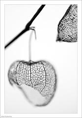 Black And White (John Penberthy LRPS) Tags: 105mm d750 flowersandplants johnpenberthy nikon closeup highkey macro macromondays monochrome physalis plant silhouette