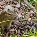Capybara Gamboa Wildlife Rescue pandemonio 2017 - 07