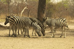 Zebras (Paul Webb.) Tags: senegal zebra ngc allnaturesparadise contactgroups
