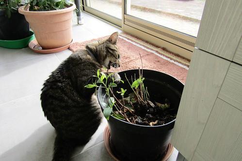 The new Khat-Cat