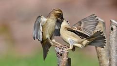 DSC_2672 The french kiss (sylvettet) Tags: birds moineaux sparrows 2017 extérieur animaux nature kiss baiser couple