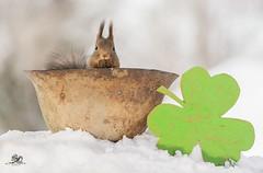 comfortable seat (Geert Weggen) Tags: red nature animal squirrel rodent mammal cute look closeup stand funny bright sun backlight winter snow eyes hypnosis staring watching contact each up chair seat holiday saintpatrick'sday hat green helmet geert weggen bispgården ragunda sweden hardeko
