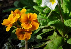 Orange Primrose. March 2017 (SimonHX100v) Tags: primrose orangeprimrose primula beddingplant plant flower flowers spring spring2017 woodthorpegrangepark woodthorpepark outdoors wildflowers simonhx100v sonydschx100v sonyhx100v colourful colorful orange outdoor outside