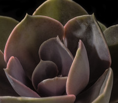 Succulent Center (Bill Gracey 15 Million Views) Tags: succulent cemter warmcolors glowing glow softbox roguegrid yongnuo trigger offcameraflash homestudio tabletopphotography macrolens nature naturalbeauty