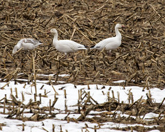 snow geese (crgillette77) Tags: pennsylvania bradfordcounty snowgeese chencaerulescens
